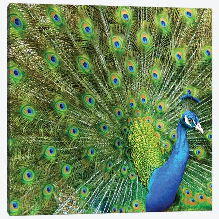 Peacock Plumage XIV 3-Piece Canvas #MFZ41} by Michael Fitzsimmons Canvas Artwork