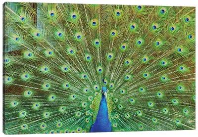 Peacock Plumage XVI Canvas Art Print