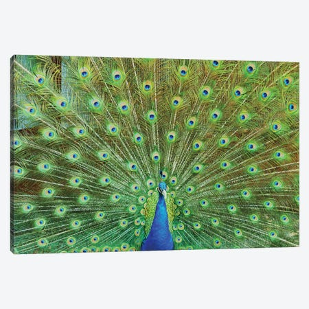 Peacock Plumage XVI Canvas Print #MFZ42} by Michael Fitzsimmons Canvas Artwork