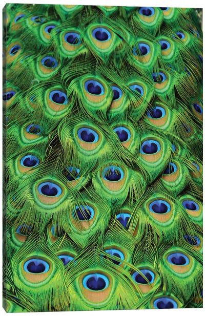 Peacock Tailfeathers Canvas Art Print