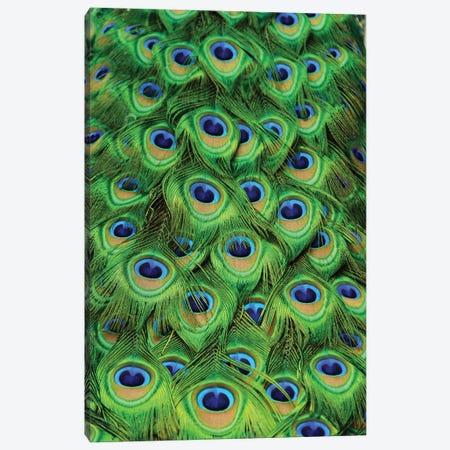 Peacock Tailfeathers Canvas Print #MFZ45} by Michael Fitzsimmons Art Print