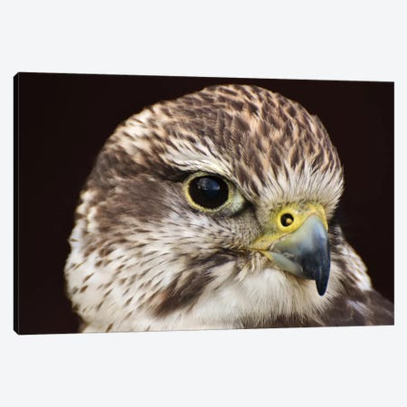 Saker Falcon In Shadow Canvas Print #MFZ49} by Michael Fitzsimmons Canvas Artwork