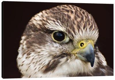 Saker Falcon In Shadow Canvas Art Print
