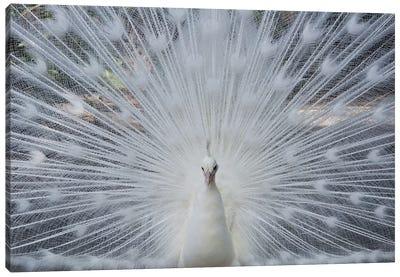 Albino Peacock Canvas Art Print