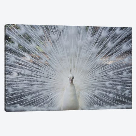 Albino Peacock Canvas Print #MFZ4} by Michael Fitzsimmons Canvas Artwork