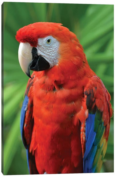 Scarlet Macaw And Palm Frond Canvas Art Print