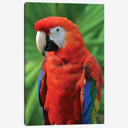Scarlet Macaw And Palm Frond Canvas Print #MFZ50} by Michael Fitzsimmons Art Print