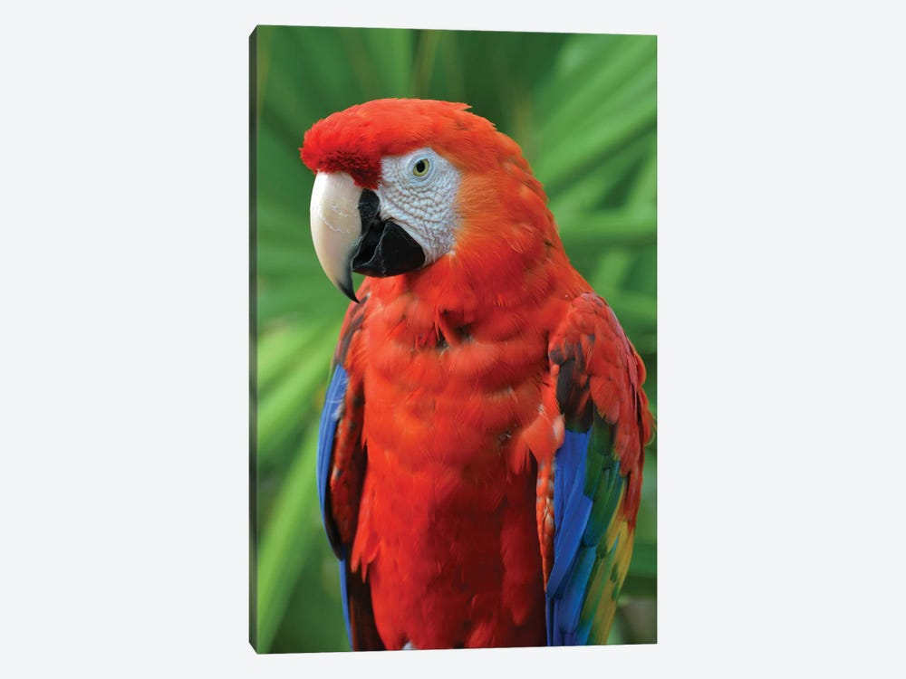 Scarlet Macaw And Palm Frond by Michael Fitzsimmons 1-piece Canvas Art Print