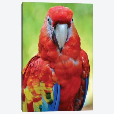 Scarlet Macaw Portrait Canvas Print #MFZ51} by Michael Fitzsimmons Canvas Print