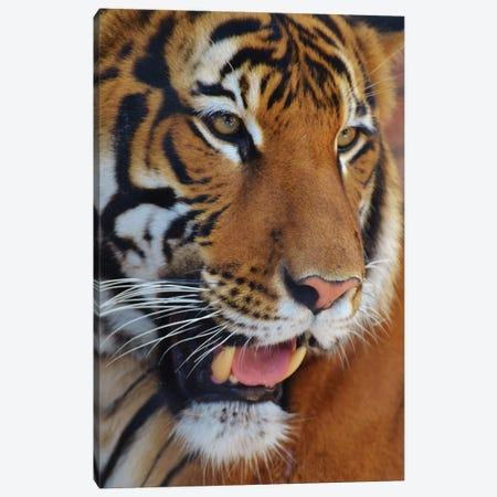 Sumatran Tiger Portrait 3-Piece Canvas #MFZ57} by Michael Fitzsimmons Canvas Art