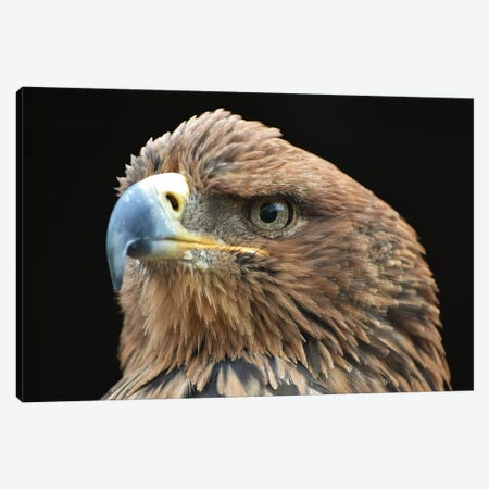 Tawny Eagle In Shadow Canvas Print #MFZ58} by Michael Fitzsimmons Art Print