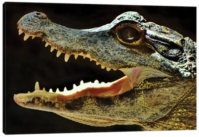 Alligator In Profile Canvas Art Print