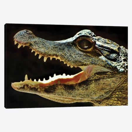 Alligator In Profile Canvas Print #MFZ5} by Michael Fitzsimmons Canvas Wall Art