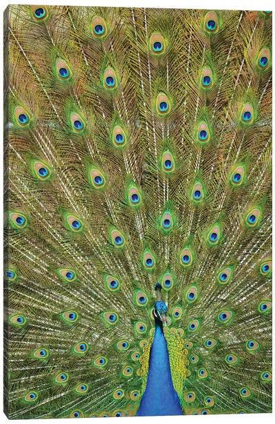 Vertical Peacock Plumage Canvas Art Print