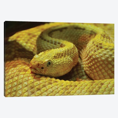 Yellow Snake In Shadow Canvas Print #MFZ66} by Michael Fitzsimmons Canvas Print