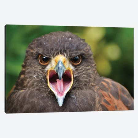 Haris Hawk In Forest Canvas Print #MFZ69} by Michael Fitzsimmons Canvas Artwork