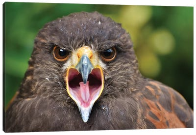 Haris Hawk In Forest Canvas Art Print