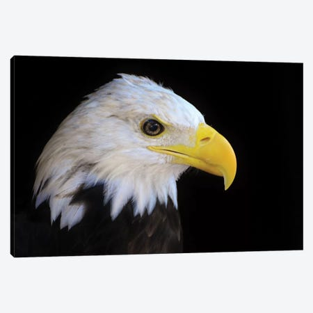 Bald Eagle In Shadow Canvas Print #MFZ6} by Michael Fitzsimmons Canvas Wall Art