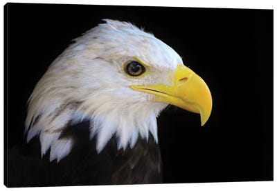 Bald Eagle In Shadow Canvas Art Print