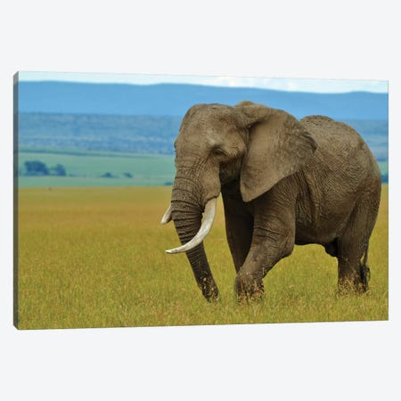 African Elephant In The Serengeti Canvas Print #MFZ70} by Michael Fitzsimmons Canvas Print