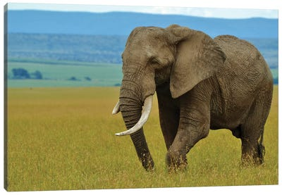 African Elephant In The Serengeti Canvas Art Print