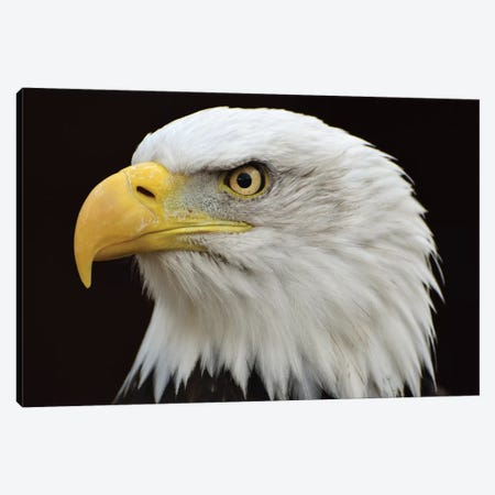 Bald Eagle Head Canvas Print #MFZ74} by Michael Fitzsimmons Canvas Art
