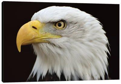 Bald Eagle Head Canvas Art Print