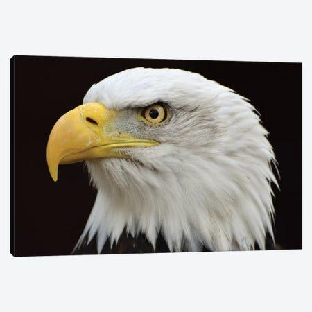 Bald Eagle Head Canvas Print #MFZ74} by Michael Fitzsimmons Canvas Art