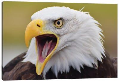 Bald Eagle Screeching Canvas Art Print