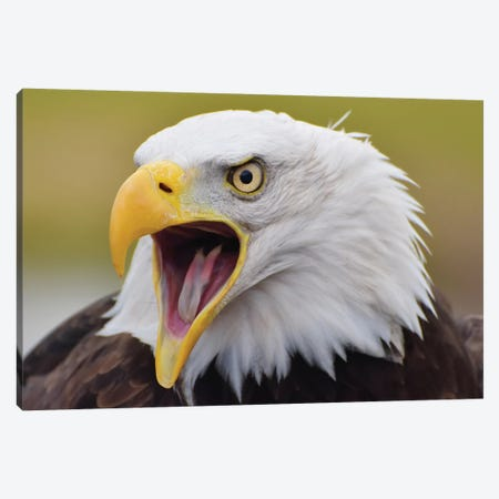 Bald Eagle Screeching Canvas Print #MFZ7} by Michael Fitzsimmons Canvas Art