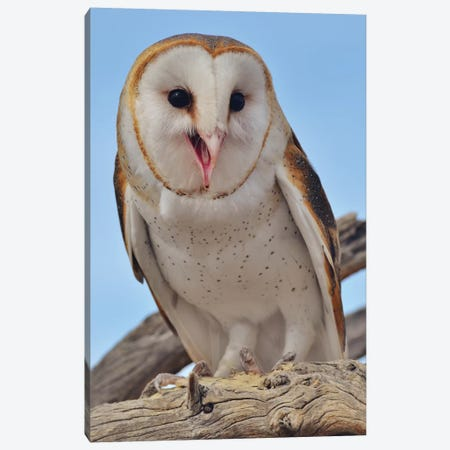 Barn Owl Smiling I Canvas Print #MFZ8} by Michael Fitzsimmons Canvas Print