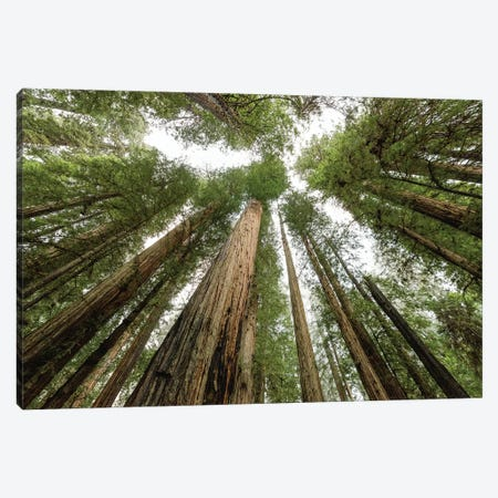 Redwood Forest Canopy Sky Canvas Print #MGK415} by Nature Magick Canvas Artwork