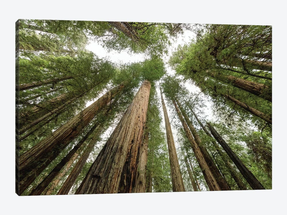 Redwood Forest Canopy Sky by Nature Magick 1-piece Canvas Print