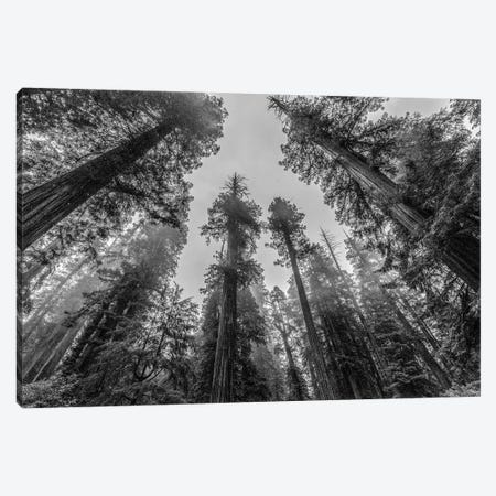 Sequoia Tree Forest Sky Black and White Canvas Print #MGK424} by Nature Magick Canvas Print