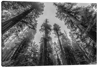 Sequoia Tree Forest Sky Black and White Canvas Art Print