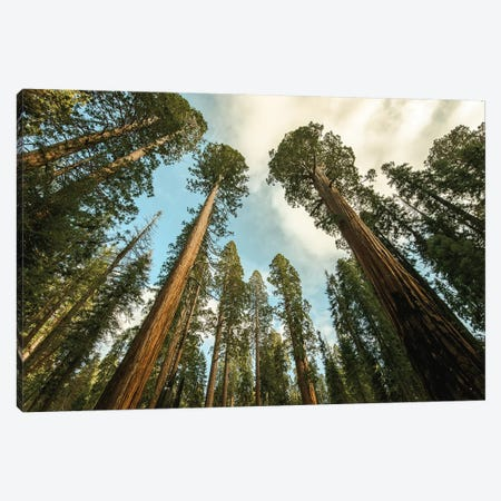 Sequoia Treescape Blue Sky Canvas Print #MGK425} by Nature Magick Canvas Print