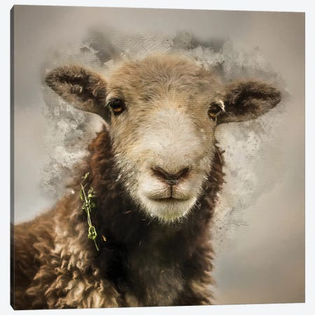 Herdwick Canvas Print #MGM13} by Mark Gemmell Canvas Print