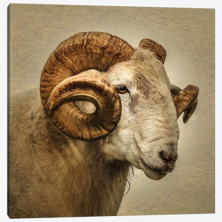 Ram Canvas Print #MGM19} by Mark Gemmell Canvas Print
