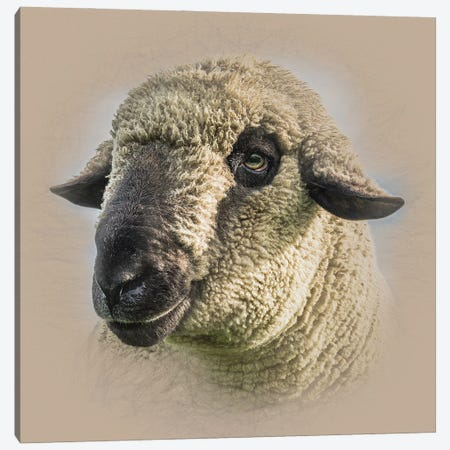 Hampshire Down Sheep Canvas Print #MGM30} by Mark Gemmell Art Print