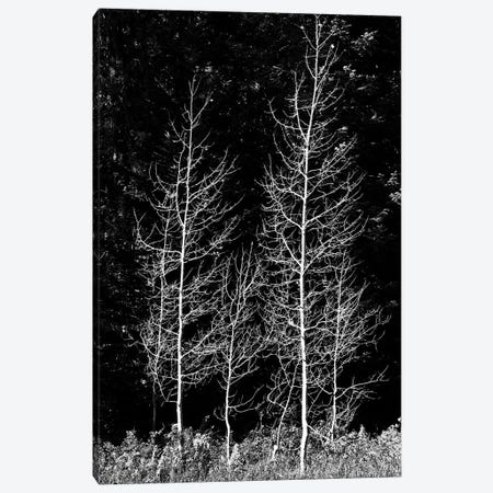 Denuded aspens, Wenatchee National Forest, White River Area, Washington State, USA Canvas Print #MHE13} by Michel Hersen Canvas Art Print