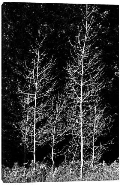 Denuded aspens, Wenatchee National Forest, White River Area, Washington State, USA Canvas Art Print