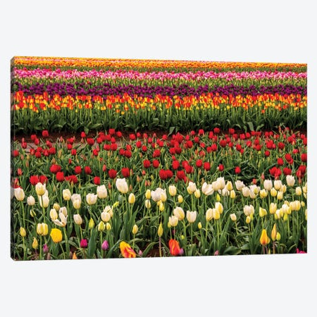 Tulip field, Tulip Festival, Woodburn, Oregon, USA. Colorful, Tulip field in bloom. Canvas Print #MHE21} by Michel Hersen Canvas Art
