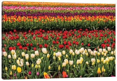 Tulip field, Tulip Festival, Woodburn, Oregon, USA. Colorful, Tulip field in bloom. Canvas Art Print