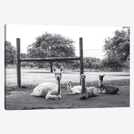 Alpaca Family     Canvas Print #MHL2} by Melissa Hanley Canvas Artwork