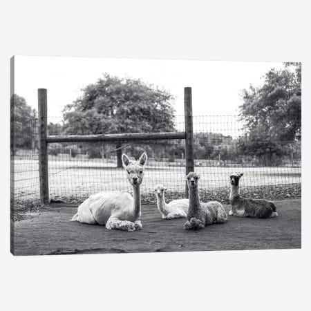 Alpaca Family     Canvas Print #MHL2} by Melissa Hanley Canvas Artwork