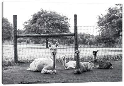 Alpaca Family     Canvas Art Print