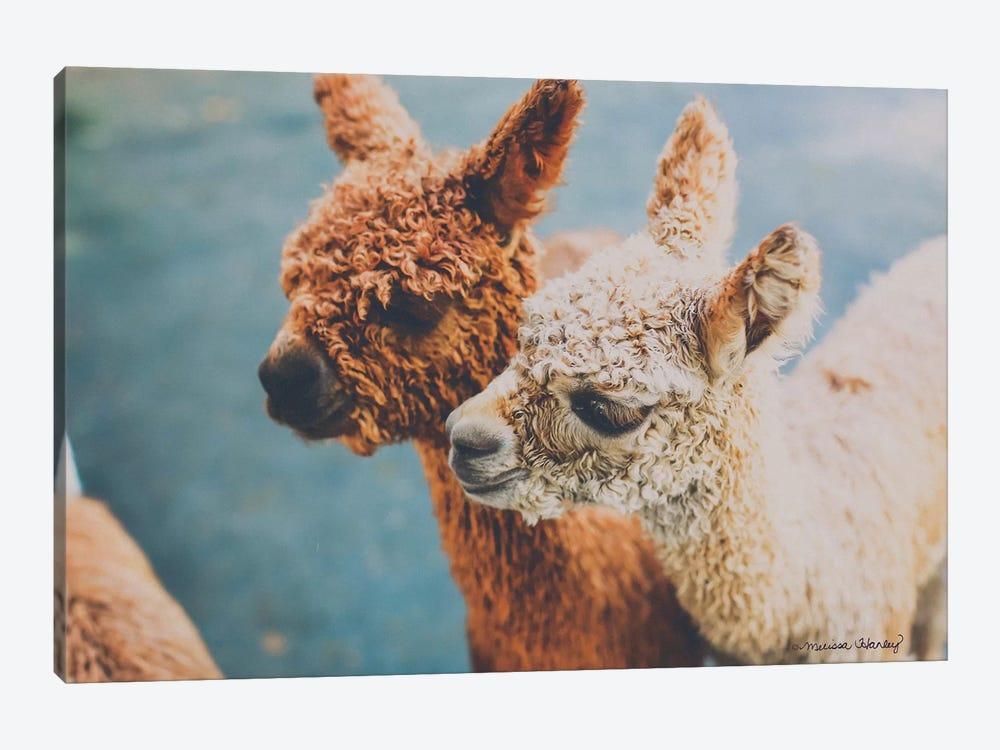 Baby Alpacas     by Melissa Hanley 1-piece Canvas Wall Art