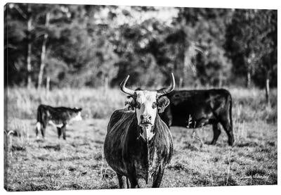 Black & White Steer Canvas Art Print
