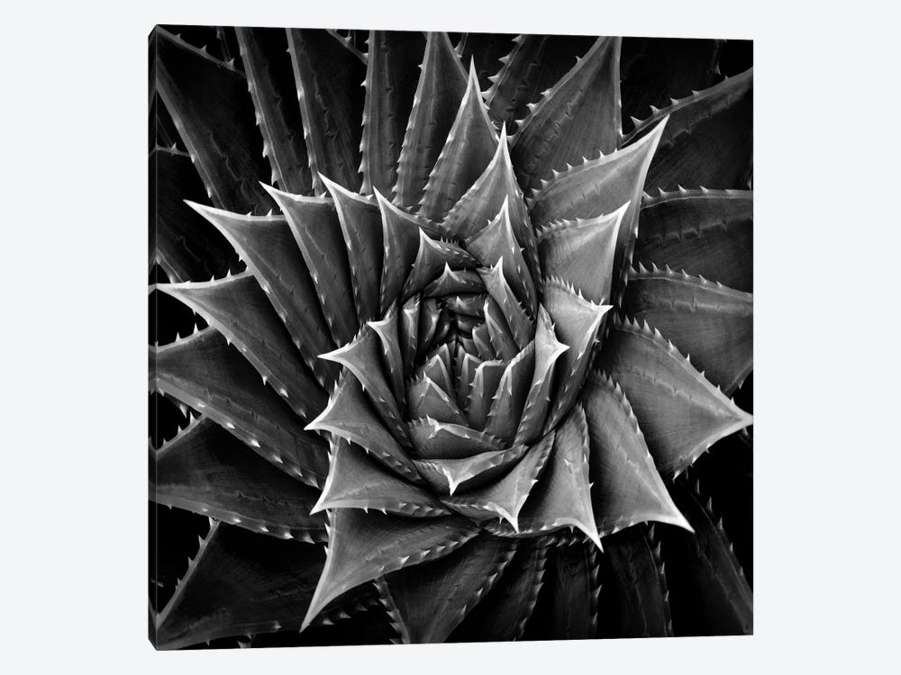 Black & White Succulent I by Mia Jensen 1-piece Canvas Art