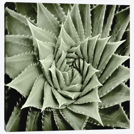 Green Succulent I Canvas Print #MIA5} by Mia Jensen Canvas Print